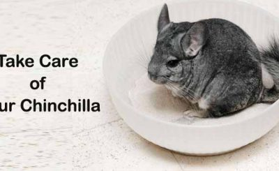 Wondering How to Take Care of Your Chinchilla Get