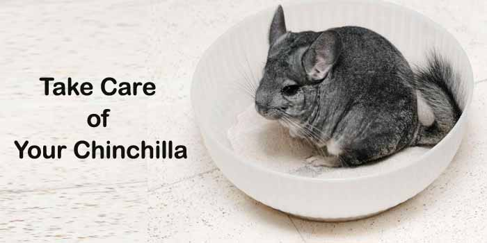 Wondering How to Take Care of Your Chinchilla? Get To Know Below