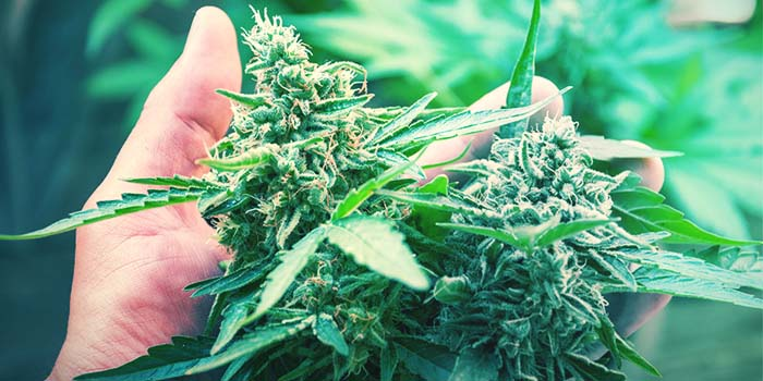 Try These Hybrid Strains and Immerse in Deepness of Euphoria
