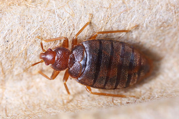 Common Signs of Bed Bugs and Ways to Identify Them